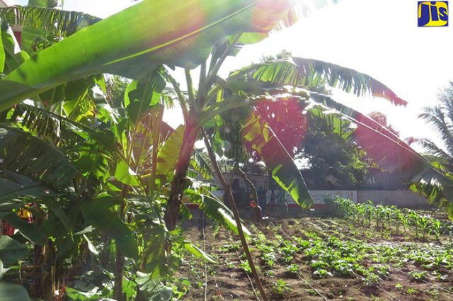 The vegetable garden established at Independence City Primary School.