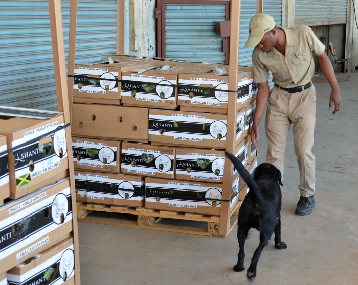 A sniffer dog, under the guidance of its handler, inspects banana packaged for the export market at the Agricultural Marketing Corporation (AMC) Complex in Kingston on Friday (January 23).