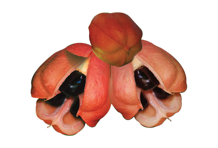 Ackee Jamaican National Symbol