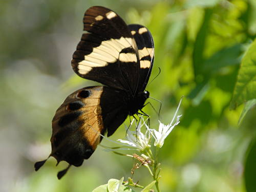 Homerus Swallowtail. Photo courtesy of V. Turland, The Ministry of Youth and Culture and UNESCO.