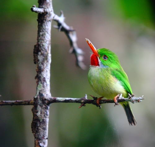 The Jamaican Tody. Photo courtesy of R. Miller, the Ministry of Youth and Culture and UNESCO.